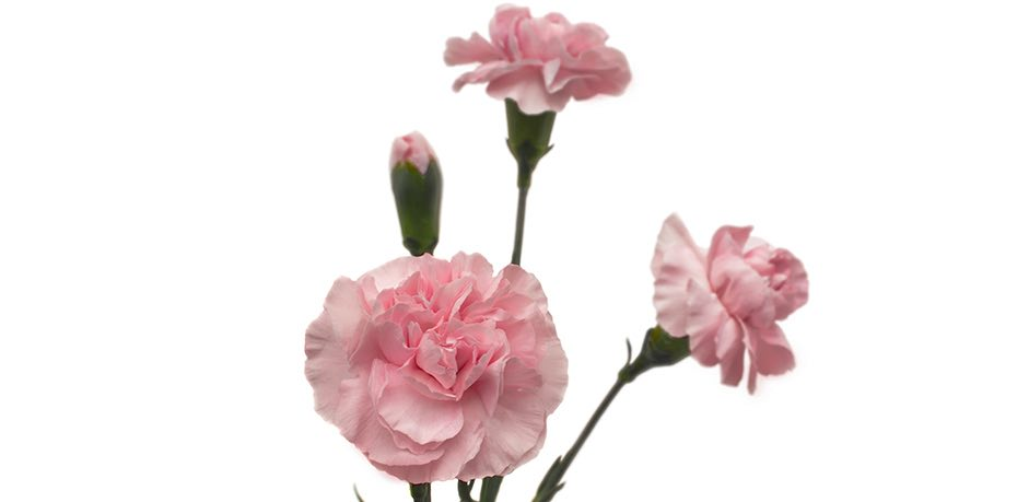 Colibri-Flowers-minicarnations, grower of Carnations, Minicarnations, Roses, Greenball and fillers.