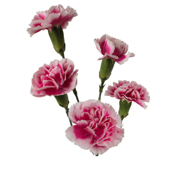 Colibri-Flowers-minicarnation-bolero, grower of Carnations, Minicarnations, Roses, Greenball and fillers.
