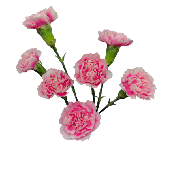 Colibri-Flowers-minicarnation-cosmocherry, grower of Carnations, Minicarnations, Roses, Greenball and fillers.