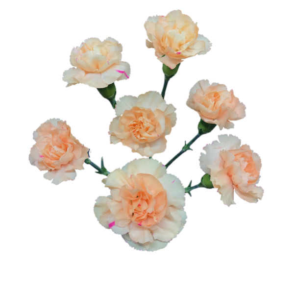 Colibri-Flowers-minicarnation-danny, grower of Carnations, Minicarnations, Roses, Greenball and fillers.