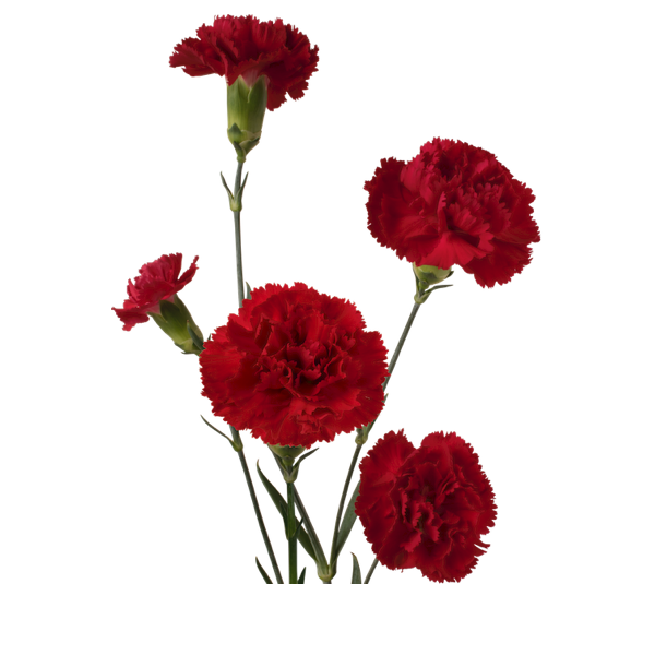 Colibri-Flowers-minicarnation-dracula, grower of Carnations, Minicarnations, Roses, Greenball and fillers.