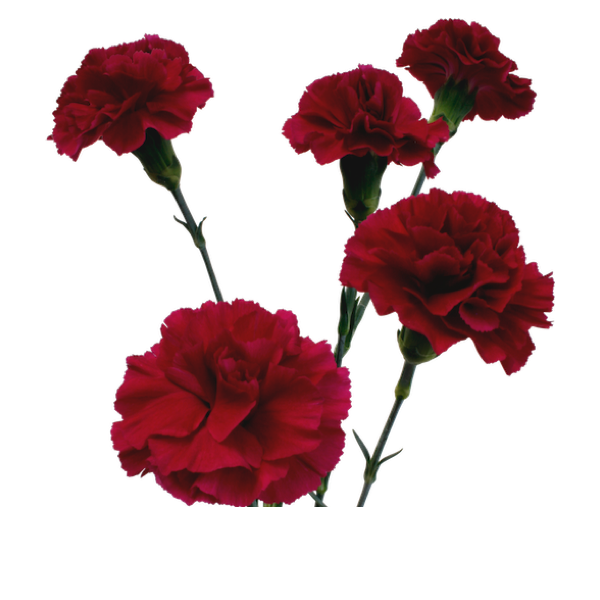 Colibri-Flowers-minicarnation-epsilon, grower of Carnations, Minicarnations, Roses, Greenball and fillers.