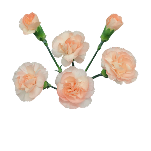 Colibri-Flowers-minicarnation-hamada, grower of Carnations, Minicarnations, Roses, Greenball and fillers.