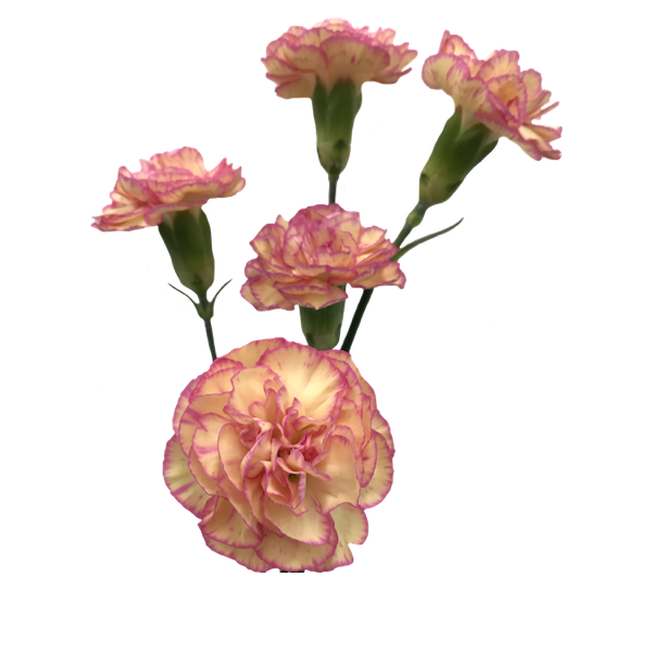 Colibri-Flowers-minicarnation-jester, grower of Carnations, Minicarnations, Roses, Greenball and fillers.