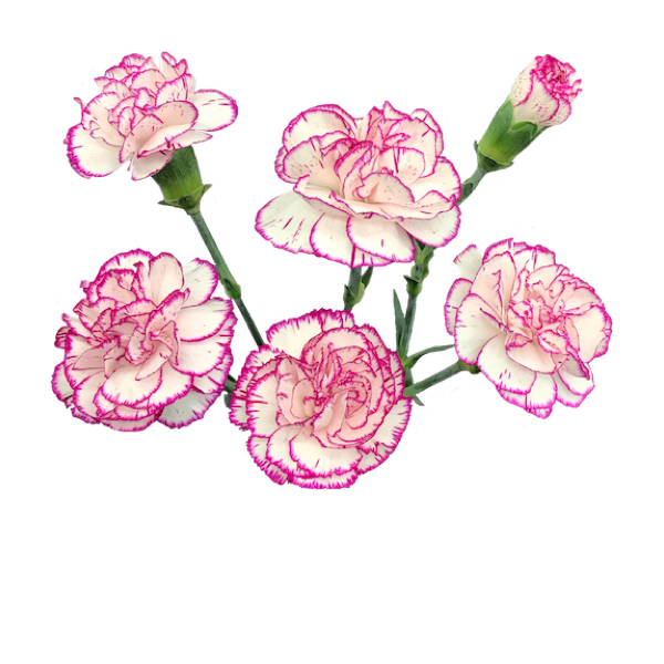 Colibri-Flowers-minicarnation-Kazuki, grower of Carnations, Minicarnations, Roses, Greenball and fillers.
