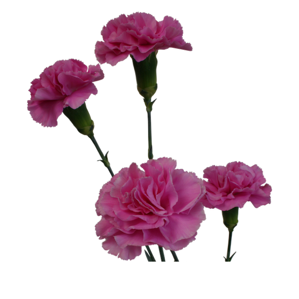 Colibri-Flowers-minicarnation-malibu, grower of Carnations, Minicarnations, Roses, Greenball and fillers.