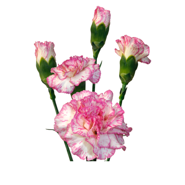 Colibri-Flowers-minicarnation-melissa, grower of Carnations, Minicarnations, Roses, Greenball and fillers.