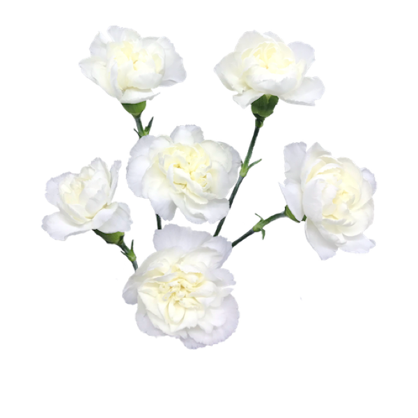 Colibri-Flowers-minicarnation-mimo, grower of Carnations, Minicarnations, Roses, Greenball and fillers.