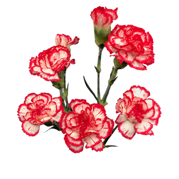 Colibri-Flowers-minicarnation-minuetto, grower of Carnations, Minicarnations, Roses, Greenball and fillers.