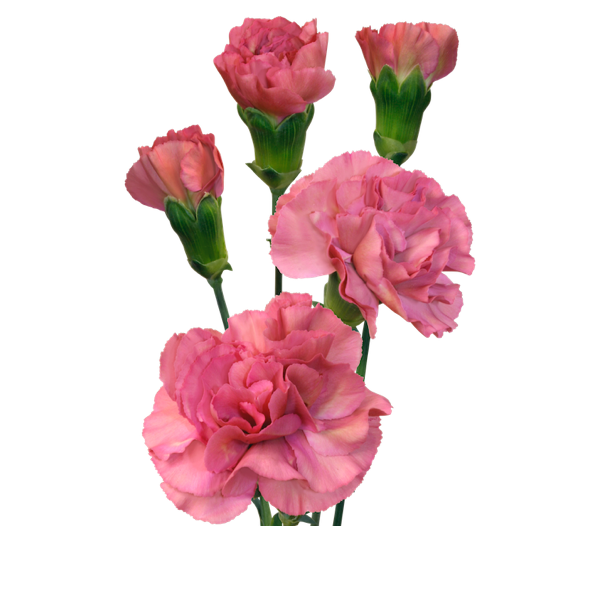 Colibri-Flowers-minicarnation-mochasweet, grower of Carnations, Minicarnations, Roses, Greenball and fillers.