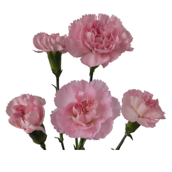 Colibri-Flowers-minicarnation-Ornella, grower of Carnations, Minicarnations, Roses, Greenball and fillers.