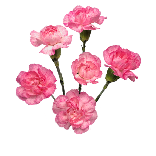 Colibri-Flowers-minicarnation-Paranoya, grower of Carnations, Minicarnations, Roses, Greenball and fillers.