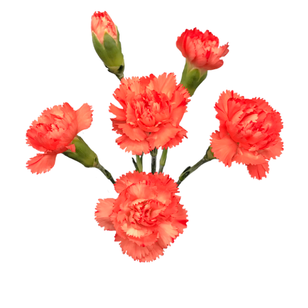 Colibri-Flowers-minicarnation-romany, grower of Carnations, Minicarnations, Roses, Greenball and fillers.