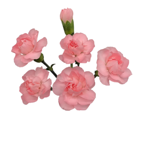 Colibri-Flowers-minicarnation-Rosemary, grower of Carnations, Minicarnations, Roses, Greenball and fillers.