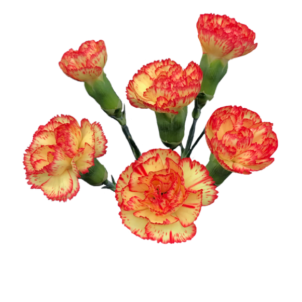 Colibri-Flowers-minicarnation-rosita, grower of Carnations, Minicarnations, Roses, Greenball and fillers.
