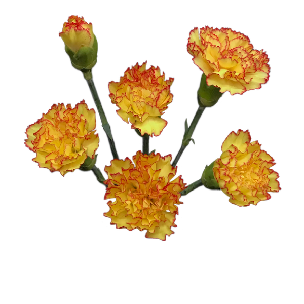 Colibri-Flowers-minicarnation-scooter, grower of Carnations, Minicarnations, Roses, Greenball and fillers.