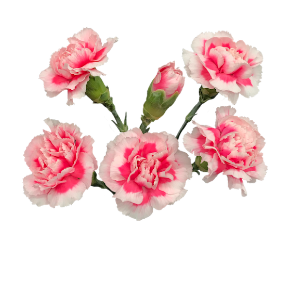 Colibri-Flowers-minicarnation-skyline, grower of Carnations, Minicarnations, Roses, Greenball and fillers.