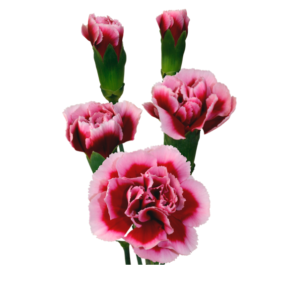 Colibri-Flowers-minicarnation-Tango, grower of Carnations, Minicarnations, Roses, Greenball and fillers.