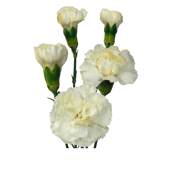 Colibri-Flowers-minicarnation-Tayrona, grower of Carnations, Minicarnations, Roses, Greenball and fillers.