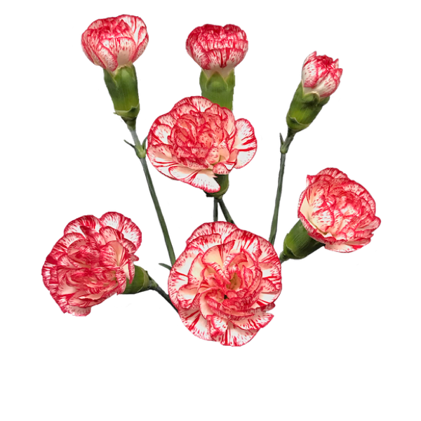 Colibri-Flowers-minicarnation-Troy, grower of Carnations, Minicarnations, Roses, Greenball and fillers.